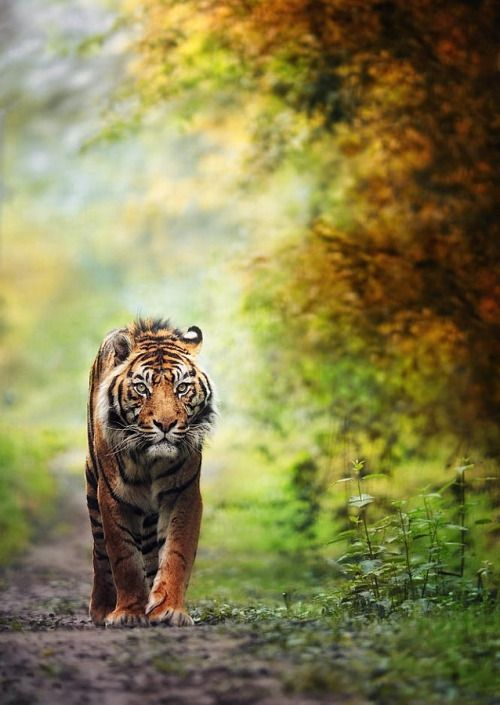 tiger is back … (by eric c.)