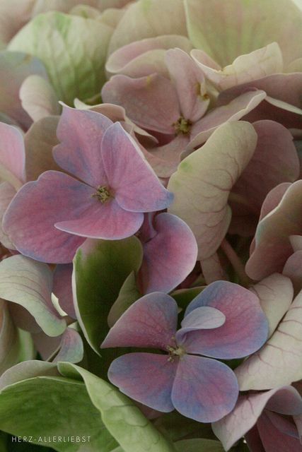 Soft colors by herz-allerliebst, via Flickr #blooms #hydrangeas