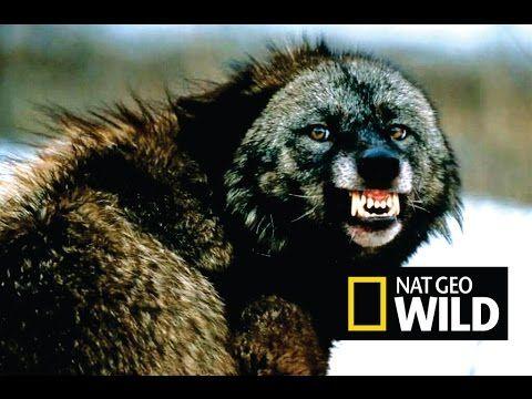 Черные волки. Волк одиночка. Альфа самец. Лучший охотник! Суперхищник! N...