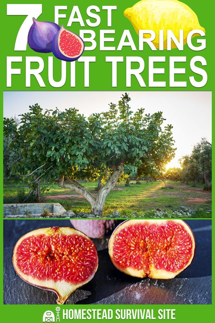 10 Trees That Bear Fruit Fast Homestead Survival Site Fruit Garden Fruit Trees Growing Fruit Trees
