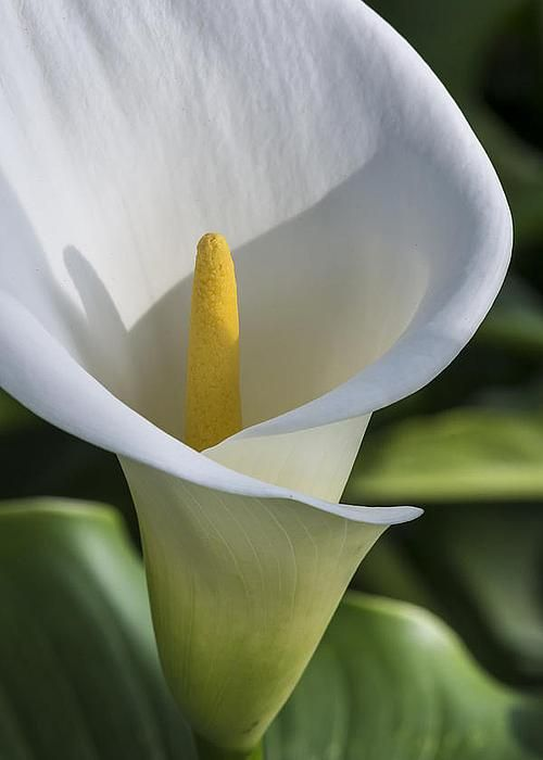 Calla Lily by Bruce Frye