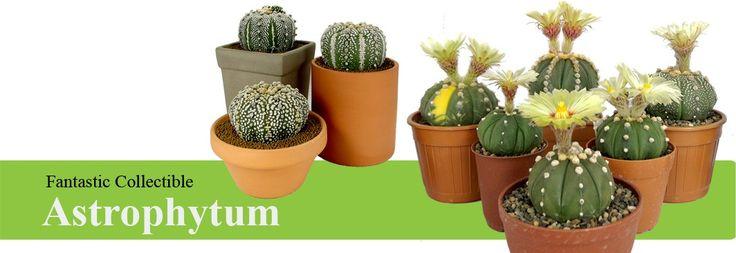 Cactus plants for sale| Rare Astrophytum and Gymnocalycium varieties