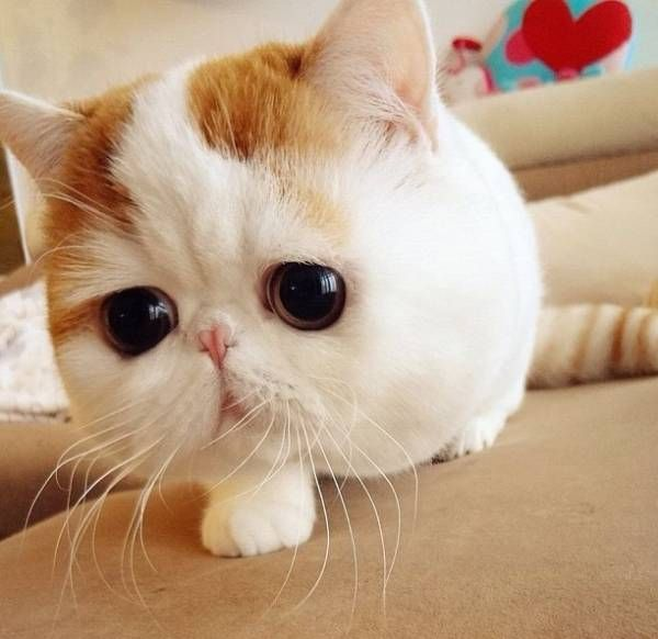 Seriously cute!  Google Image Result for http://cdn.pbh2.com/wordpress/wp-content/uploads/2012/05/cutest-cat-ever-snoopy-zoom-face.jpg