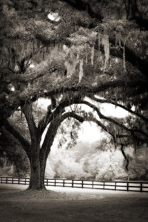 spanish moss really does something for me: Beautiful Surroundings, Random Beautiful, Attraction Photography, Trees