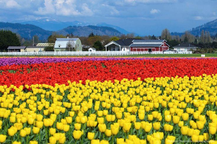 Каждую весну с тех пор как мы переехали в Ванкувер, мы ездим на фестиваль тюльпанов в Агазизе — пожалуй, один единственный, известный мне в Британской Колумбии и каждый раз слышу ото всех, что наш фестиваль — фигня, в Америке вся сила, брат. Ну что ж, поехали в Америку.