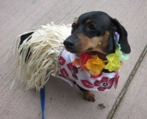 102 Best Images About Dachshunds Dressed Up On Pinterest