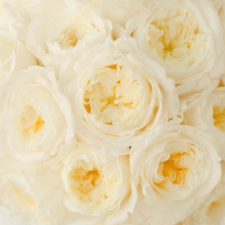 White Patience Garden Rose 105 best white/ ivory flowers images on pinterest | white flowers
