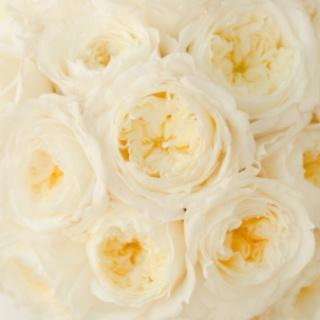White Patience Garden Rose