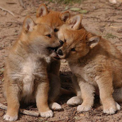 Dingo pups - Australia (wild native dogs)  are born in average litters of five....can reach 10. They become independent by 3 or 4 months.