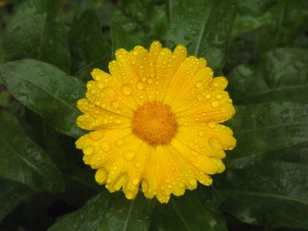File:Calendula officinalis 01.jpg