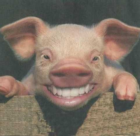 Hampshire Pig | HAMPSHIRE pigs were developed in Hampshire, England, and have been in ...