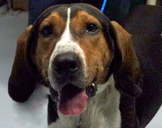 41 best coonhounds  ufe0f images on pinterest