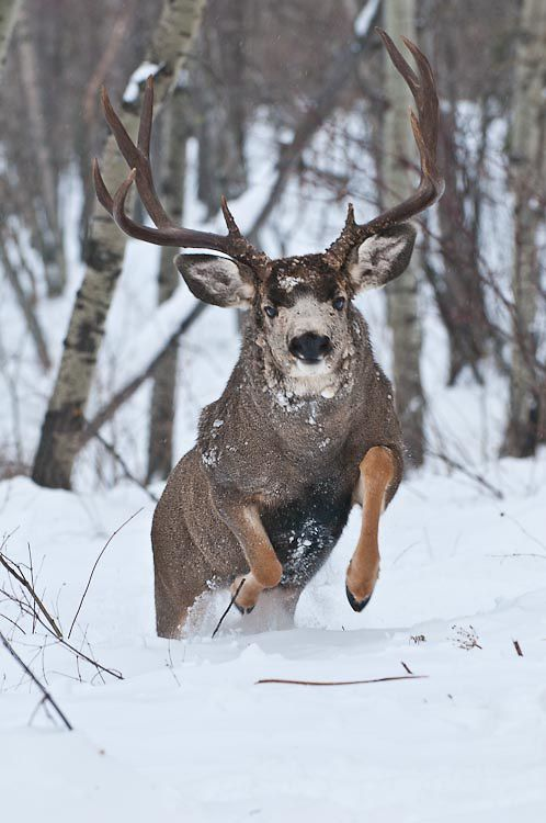 Mule Deer running in snow! #HeadsofState