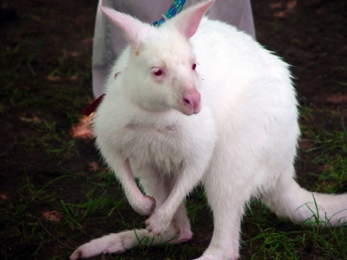 Have You Ever Seen a White Kangaroo Before? ... white_kangaroo_ .. #top #best #image #images #photos #pictures #decoration  #albinokangaroos #kangaroos #rarewhitekangaroos #whiteanimals #whitekangaroos #fashion #style #jewelry #gift ...└▶ └▶ http://www.pouted.com/ever-seen-white-kangaroo/