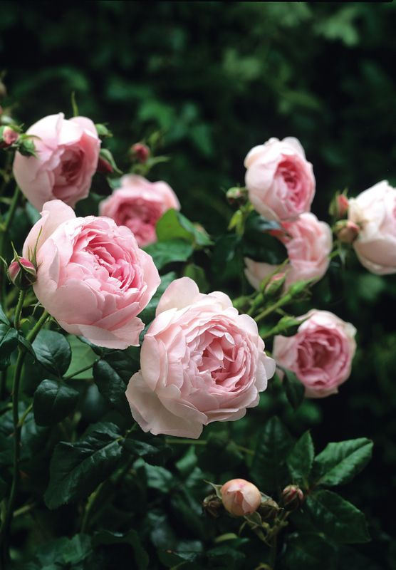One of David Austin's Top 10 Most Fragrant English Roses:•	Rosa 'Scepterd Isle' is beautiful soft pink rose. Its distinctive fragrance has won awards and can be described as powerful English myrrh. (English Rose 'Scepter'd Isle' – Repeat-flowering, cupped flowers in soft blush pink, winner of Royal National Rose Society's Henry Edland Award for fragrance, USDA zones 5-10).