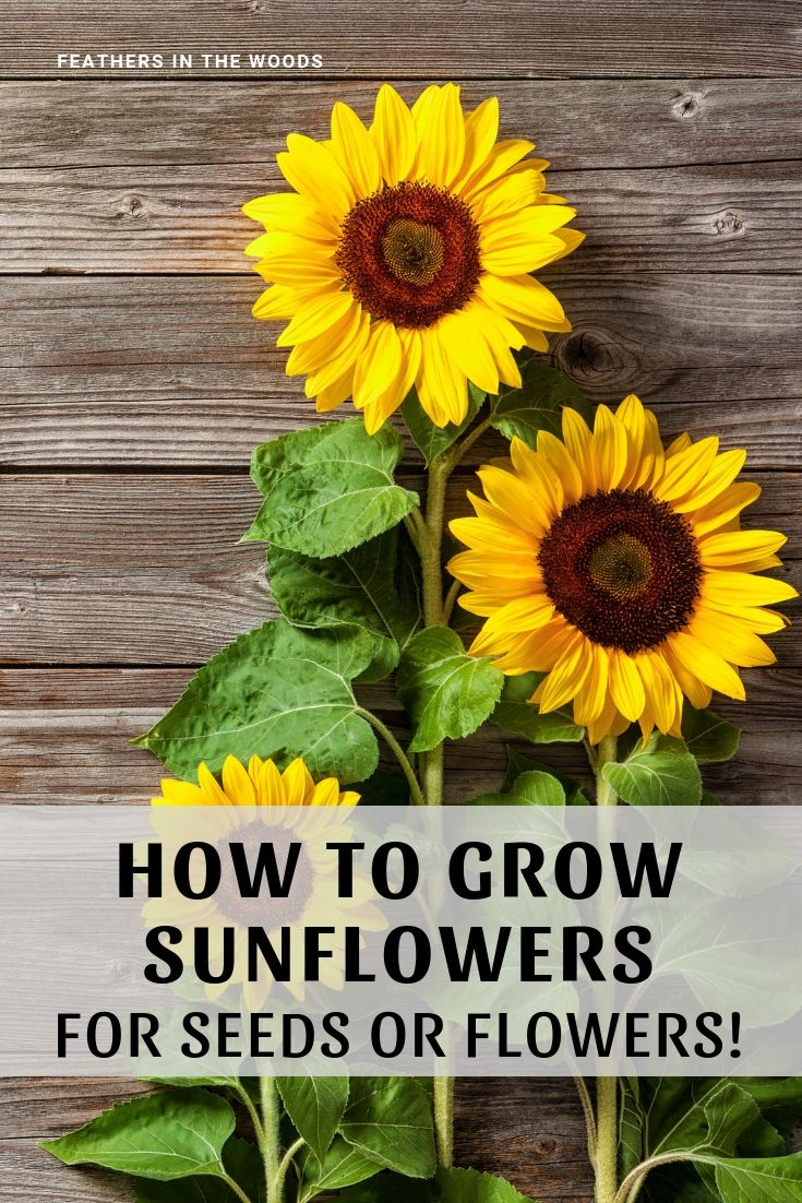 How To Grow Sunflowers Growing Sunflowers When To Plant Sunflowers Planting Sunflowers