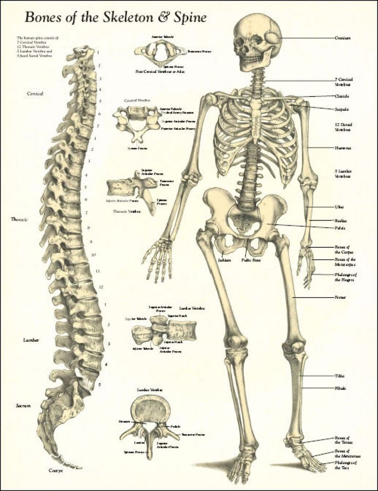 33 best bones images on pinterest | bones, skeletons and human anatomy, Skeleton