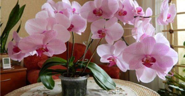 Как заставить цвести орхидею? Есть один верный способ!