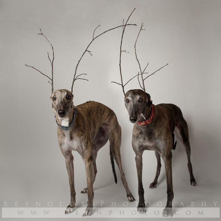 Dog - Greyhound - Rescue - Photography
