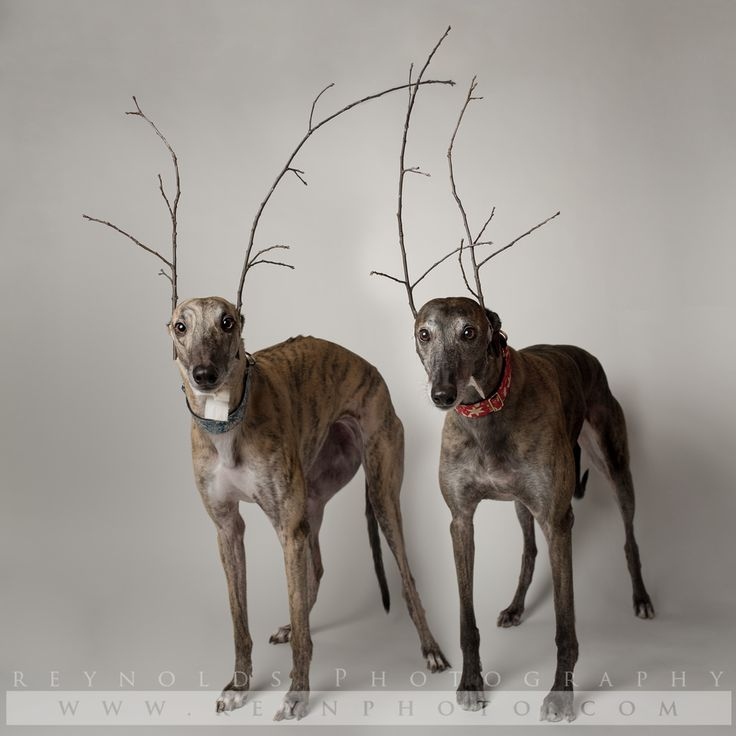 Dog - Greyhound - Rescue - Photography