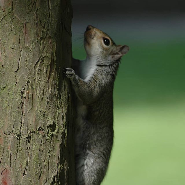 And of course, sometimes it seems like London is just a playground for Squirrels! #london #londonparks #sneaky #visitlondon #lovelondon #cheeky #nature #squirrel #stroll #stay