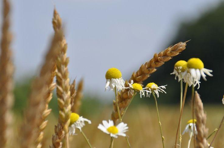 Bálint György kertről, növényekről | Gyűjtésre érdemes fűszerek és gyógynövények