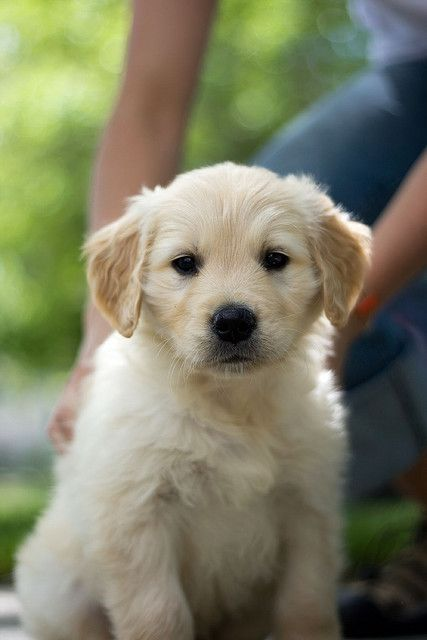 I LOVE Golden puppies!!!! (This perfect pup looks especially liked precious new Golden puppy, Mischa.). Adorable Teddy Bear puppies, needing & deserving nothing but adoring, constant, SNUGGLE LOVE!!!