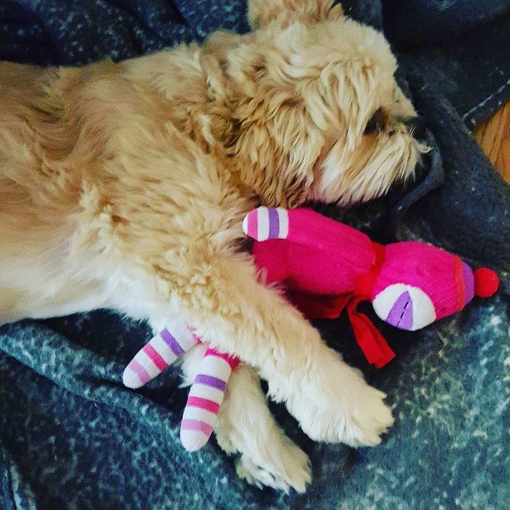 Want to make your dog famous? Send us a video of your dog dreaming to aly@whydoesmydog.com and he/she may be featured in our next video! #whydoesmydog #WDMD #lhasaapso #dogs #dog #dogstagram #cute #weeklyfluff  #dogsofinstagram  #beggintime #buzzfeed #dogsandpals #mydogiscutest  #instadog #doglover #dogs_of_instagram #instagramdogs #pup #dogoftheday #ilovemydog #instapuppy #lovedogs #lovepuppies #puppy #adorable #puppies #mypets #mydog