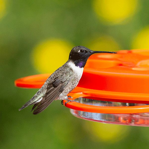 This Black-chinned Hummingbird visited me.