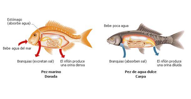 Regulación osmótica en los peces Los peces marinos tienen una concentración salina más baja que la del agua marina que los rodea por lo que tienden a perder agua. Para reemplazar esta pérdida, estas especies están constantemente bebiendo agua de mar y excretando sales, y absorben el agua desde el estómago. Por el contrario, en los peces de agua dulce el agua tiende a entrar osmóticamente en sus cuerpos ya que la concentración de sales es menor en el medio acuático que en la sangre de estos