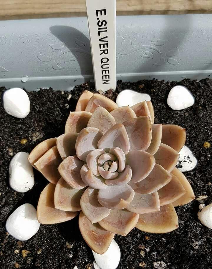 Echeveria silver queen | gardening ideas | Succulent ...