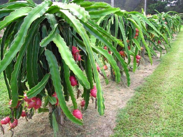 Hylocereus sp Desenvolvem-se sobre as árvores a partir do solo, como se fossem trepadeiras.
