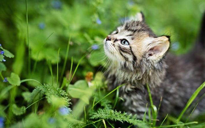 Download wallpapers 4k, Maine Coon, kitten, gray cat, close-up, fluffy cat, cute animals, gray Maine Coon, pets, cats, domestic cats, Maine Coon Cat