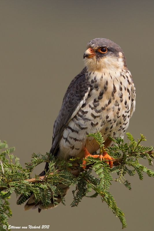 Amur Falcon (Falco amurensis), is a small falcon in the raptor family. It breeds in south-eastern Siberia and northern China before migrating in large flocks across India and over the Arabian Sea to winter in Southern-Africa.