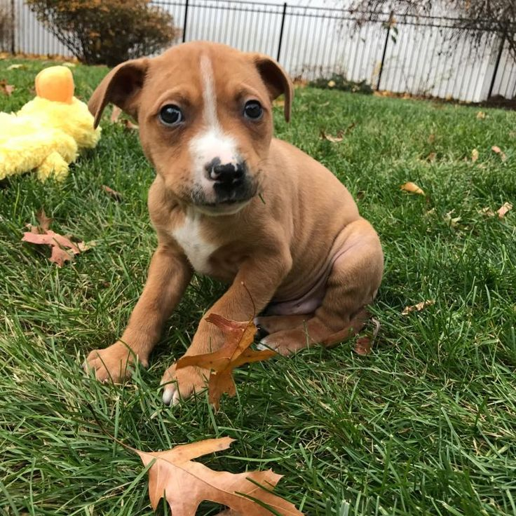 DASHER is an adoptable Pit Bull Terrier searching for a forever family near Paramus, NJ. Use Petfinder to find adoptable pets in your area.