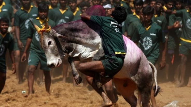 Indian Court Retains Tamil Nadu Bullfighting Ban - The Indian Supreme Court has put on hold a government order lifting a ban on Jallikattu - a form of bullfighting that has been popular for centuries in the state of Tamil Nadu. http://www.bbc.com/news/world-asia-india-35290272