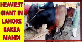 For Qurbani Eid 2016 this Heavy Giant Bull is for Sale in Lahore Cow Mandi. This…