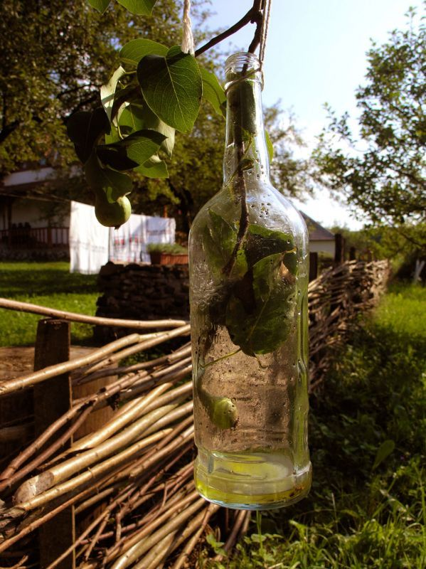 Pear growing in a bottle. Maramures Romania