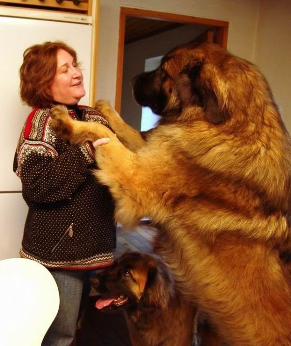 World's Largest Dogs - Gallery