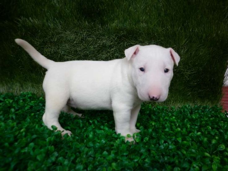 Are you Pit bull lovers? If Yes Read the five types of Pit bull Breeds that are really popular right now. This list of Pit bull breed is very famous because of