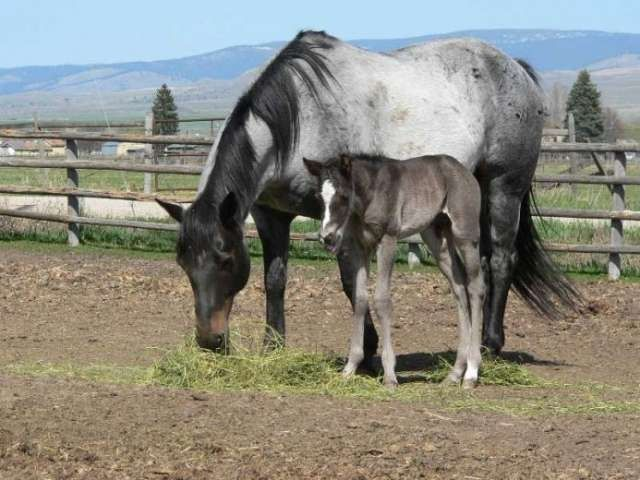 Blue roan horse with a foal