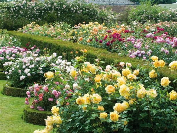 The 26 best images about Roses on Pinterest
