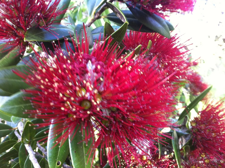 Pohutukawa, NZ Christmas Tree