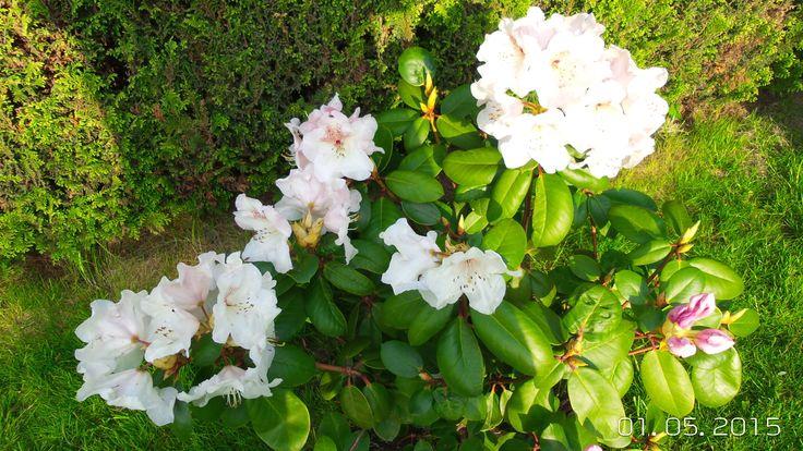 wcześnie kwitnący rozanecznik