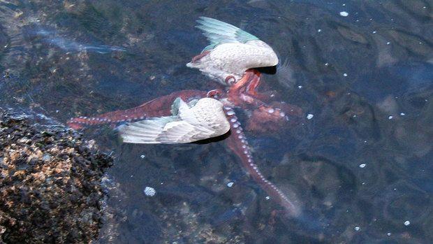 Octopus kills and eats gull... pretty impressive, really. =)
