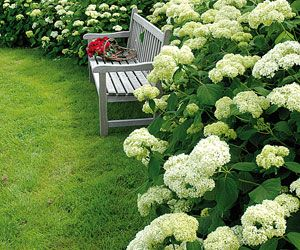 Arbustes et vivaces pour bordures sans entretien - 'Annabelle' : superbe, même en terrain médiocre