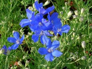 Delphinium grandiflorum 'Delfix Blue' - stračka