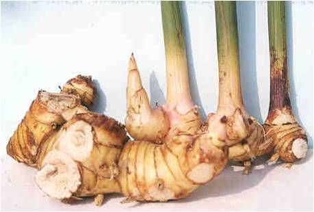 Galangal or Kha  Benefits: Relieves flatulence, diarrhoea, asthma and bronchitis and reduces phlegm. Apply mixed, pounded fresh roots mixed with whisky to the skin to stop fungus and ringworm. Galangal contains Vitamins B1 and B2, calcium and phosphorous.  Use: It is good in soups like tom yum, tom kha and tom saeb and noodle broth. People in the Northeast add chopped galangal to their spicy salads like laab. Chopped galangal is also a common ingredient in curry paste.