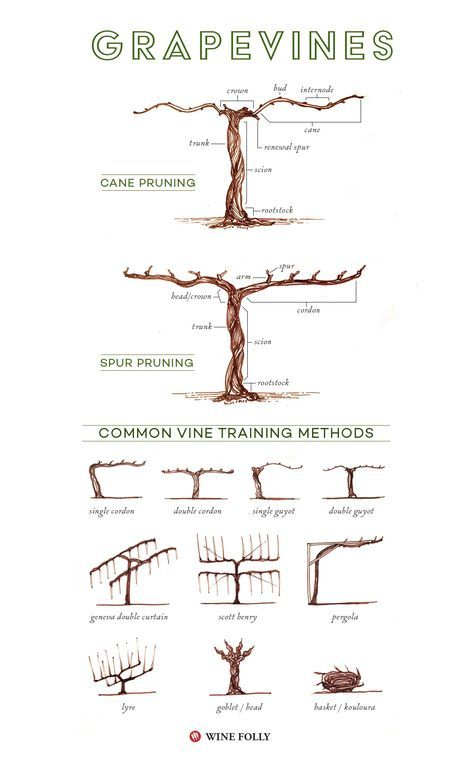 Illustrated Grape Vine Training Methods Food Garden