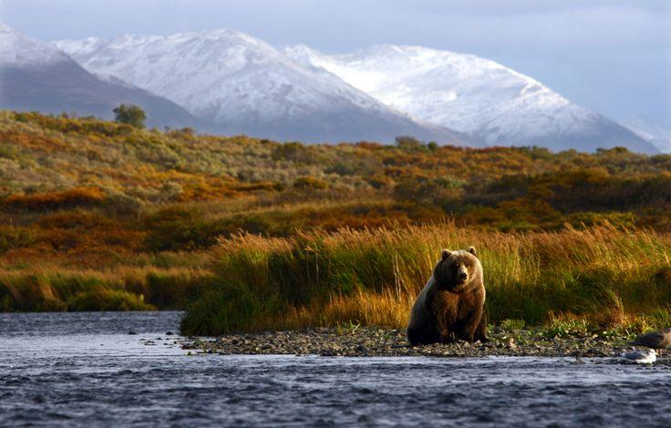 Brooks Falls in Alaska è conosciuta in tutto il mondo per la presenza di una numerosa popolazione di orsi bruni/orsi grizzly avvistabili nell'area durante tutto il periodo estivo (dalla metà di giugno fino a tutto settembre).